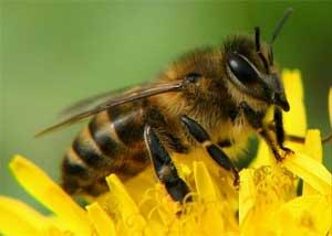 Как вести себя, если ужалила ребенка пчела