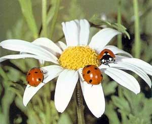 КОНСПЕКТ ДЛЯ ДЕТЕЙ СТАРШЕЙ ГРУППЫ Составление описательного рассказа о насекомых с использованием схемы
