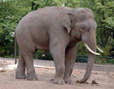 Конспект НОД по обучению грамоте для детей подготовительной к школе группы Тема: Звуковой анализ слова «слон»