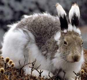Детский исследовательский проект «Почему заяц зимой белый?»