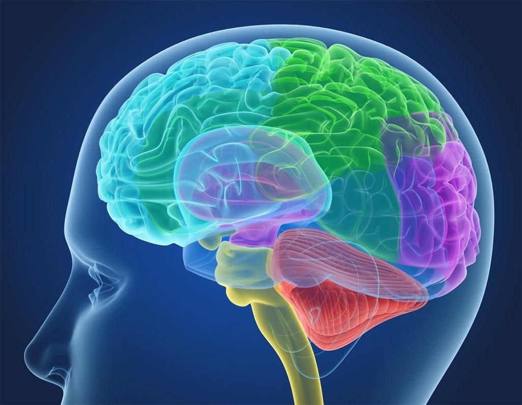 строение человеческого мозга