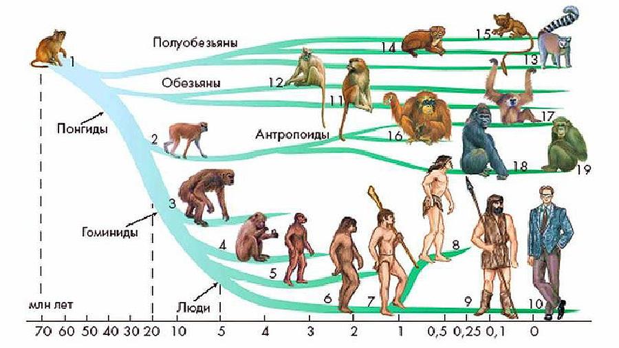 эволюция человека: понгиды, гоминиды, антропоиды, гомосапиенсы
